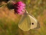 Stor klsommerfugL (Pieris brassicae)